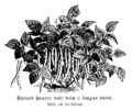 Haricot beurre noir nain à longue cosse Vilmorin-Andrieux 1904.png