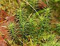 Harilik karusammal (Polytrichum commune).jpg