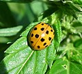 Harlequin Ladybird. Harmonia axyridis form succinea (36046419375).jpg