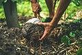 Harvesting Coconuts (Unsplash).jpg