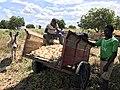 Harvesting in Chikhwawa Malawi.jpg