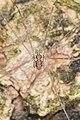 Harvestman (Opiliones) - Mississauga, Ontario 01.jpg