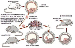 Induced stem cells - Transplantation of pluripotent/embryonic stem cells into the body of adult mammals, usually leads to the formation of teratomas, which can then turn into a malignant tumor teratocarcinoma. However, putting teratocarcinoma cells into the embryo at the blastocyst stage, caused them to become incorporated in the cell mass and often produced a normal healthy chimeric (i.e. composed of cells from different organisms) animal