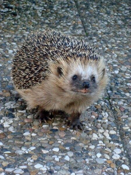 Fil:Hedgehog Gnesta.jpg