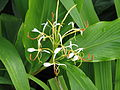 Hedychium spicatum Ciaojiang (15132392575).jpg
