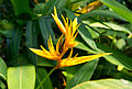 Heliconia psittacorum × Heliconia spathocircinata.jpg