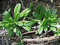 Heliotropium anomalum var. argenteum (5187439337).jpg
