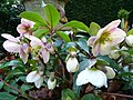 Helleborus species - geograph.org.uk - 1135353.jpg