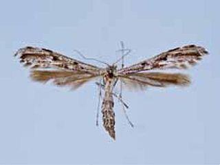 <i>Hellinsia inquinatus</i> Species of plume moth