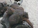 Helogale-parvula-dwarf-mongoose-0b.jpg