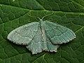 Hemithea aestivaria - Common emerald - Зелёная пяденица хвостатая (42937531172).jpg