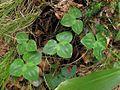 Hepatica nobilis PID1803-1.jpg