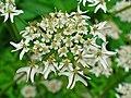 Heracleum sphondylium 003.JPG