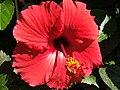 Hibiscus Bloom. - panoramio.jpg