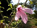 Hibiscus pedunculatus 1c.JPG