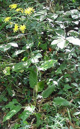 Hieracium murorum 2006.06.19 09.36.35-p6190020