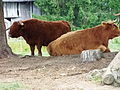 Highland Cattle 2907.JPG