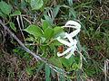 Hillia parasitica-La Soufrière-Guadeloupe 2.JPG