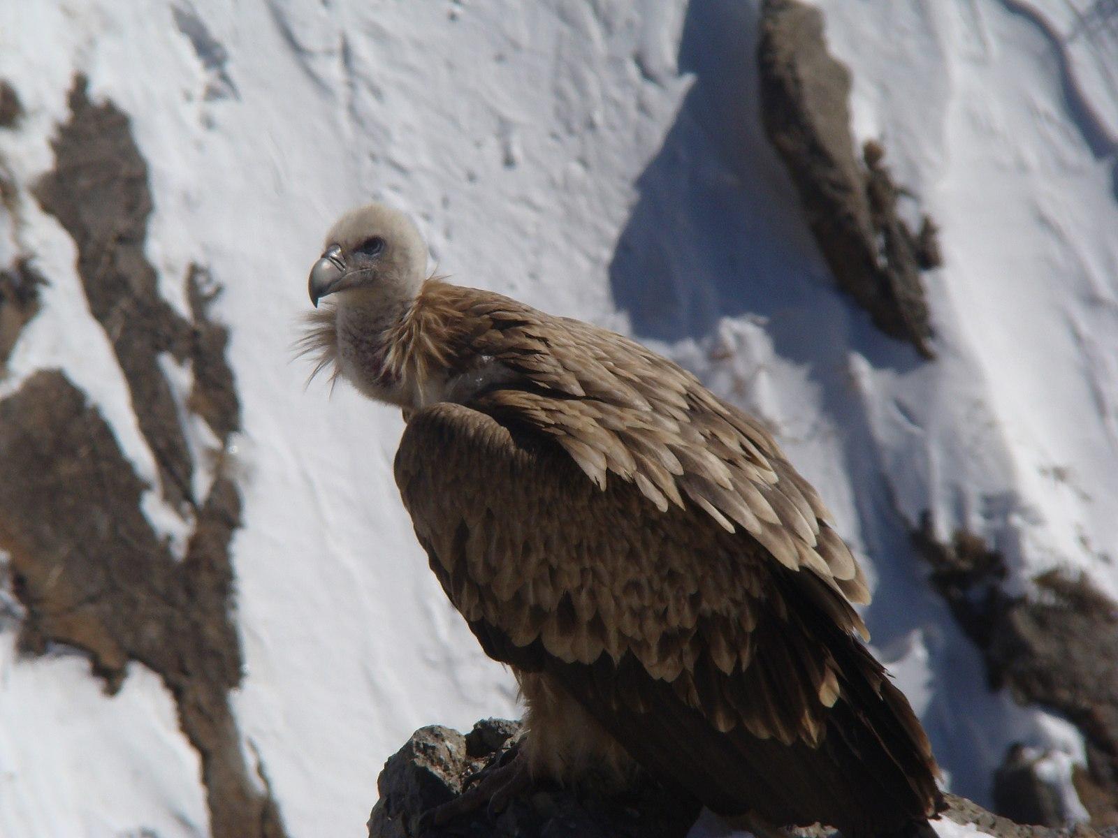 [Image: 1600px-Himalayan_griffon_%28Gyps_Himalay..._Spiti.JPG]