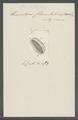 Himantopus charon - - Print - Iconographia Zoologica - Special Collections University of Amsterdam - UBAINV0274 113 17 0016.tif