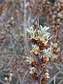 Hippophae rhamnoides 125044590.jpg