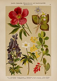 Hoffmann-Dennert botanischer Bilderatlas (Taf. 39) (6425002113).jpg