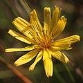 Hololeion krameri (flower).jpg