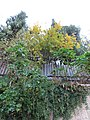 Holy Land 2018 (2) P108 Jerusalem Mount of Olives flora.jpg