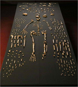 Homo naledi - A sample of the 1,550 skeletal pieces recovered