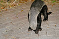 Honey Badger (Mellivora capensis) (16804971054).jpg