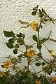 Hop Trefoil Alvor Portugal 24.02.16 (24944279060).jpg