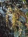 Hopea ponga flowers at Keezhpally (19).jpg