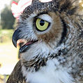Horned owl profile.jpg