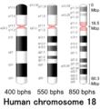 Human chromosome 18 - 400 550 850 bphs.png