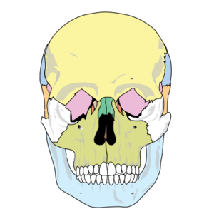 Human skull front simplified.PNG