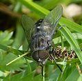 Hybomitra sp. - Flickr - gailhampshire (1).jpg