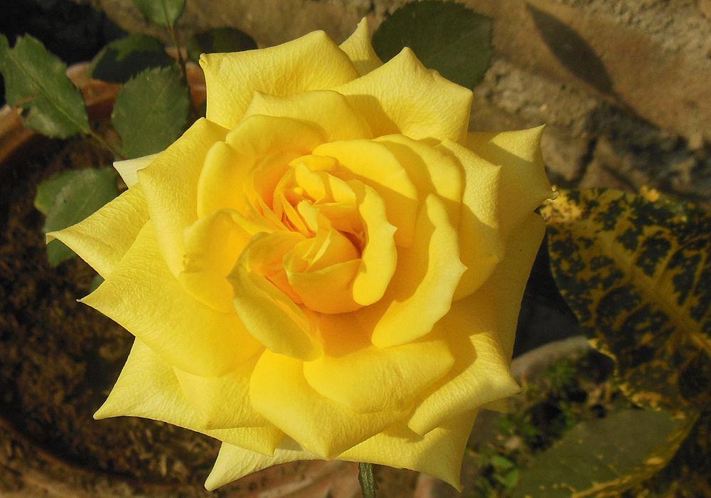 Hybrid Tea English Rose Yellow.jpg
