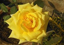 Hybrid Tea English Rose Yellow.jpg