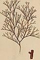 Hydrophytologiae Regni Neapolitani icones - auctore Stephano delle Chiaie. (1829) (14590825419).jpg
