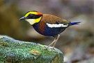 Hydrornis irena - Sri Phang Nga.jpg