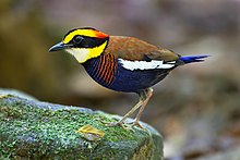 Stout bird with bright yellow stripe on head and blue breast stands on mossy rock