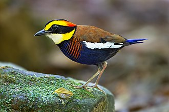 Pitta - In 2010 the banded pitta was split into three species, making this male a Javan banded pitta.
