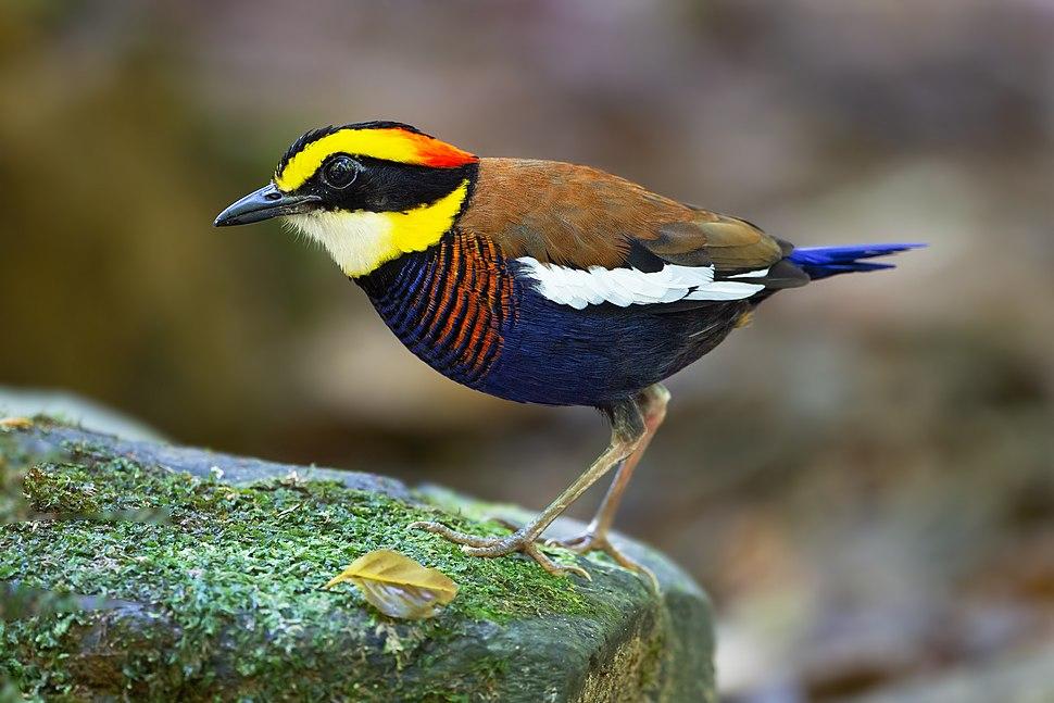 Hydrornis irena - Sri Phang Nga