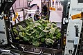 ISS-64 Radish plants in the Plant Habitat-02 experiment (2).jpg