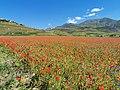 I Piani di Castelluccio durante la fioritura della lenticchia (4).jpg