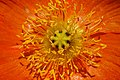 Iceland Poppy Papaver nudicaule 'Champagne Bubbles' Orange Closeup.jpg