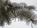 Icy Fir (371098907).jpg