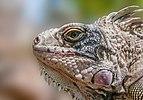 Iguana Iguana from Margarita Island.jpg