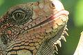 Iguana head Osa.JPG