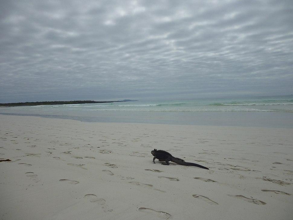 Iguana on the beach at Tortuga Bay Galapagos photo by Alvaro Sevilla Design